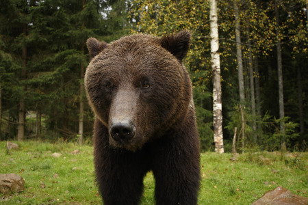 Big wild brown bear stands and looks sad in a forest background
