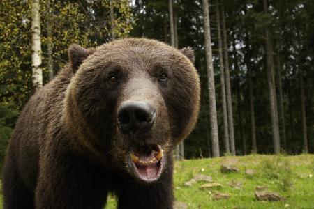 cu: Big brown bear roars showing his fangs