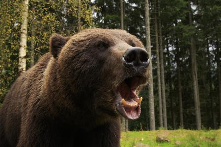 cu: Furious wild bear in the wood roars showing his teeth Stock Photo
