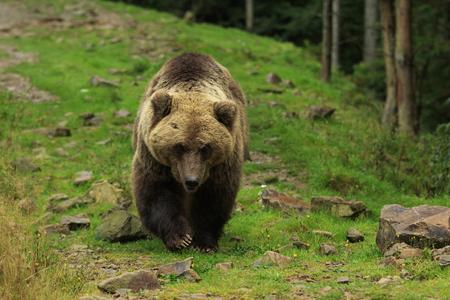 Big brown bear walks on stony glade