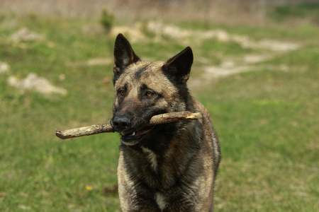 cu: German Shepgerd close-up with a stick in its mouth