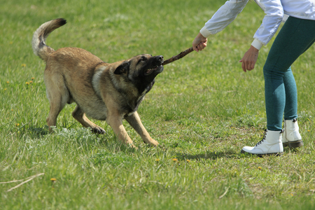 German Shepherd hardly pulls a stick by its teeth while woman holds another end of a stick