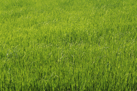Green cereal field background Stock Photo