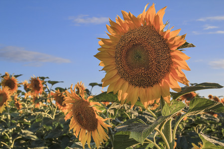 cu: Sunflower ripen close up in the field with blue sky behind Stock Photo
