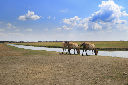 Three Przewalskis horses at watering place in Askania-Nova national reserve