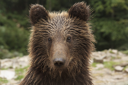 Wild teddy bear with wet fur looks into camera close-up