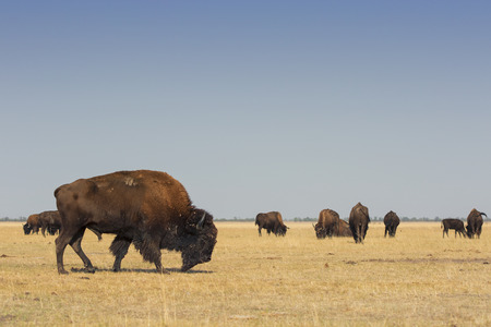 Herd of wild American Bisons graze in a dry field with a clear blue sky Stok Fotoğraf