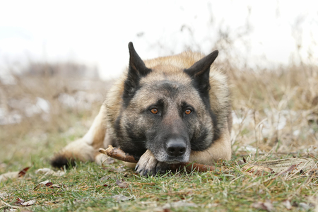 German Shepherd looks sad lyign on his paw with a stick in the winter field