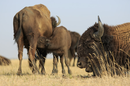 Wild male of American Buffalo lies close-up in foreground of mother with their calf sucking milk in dry steppe 版權商用圖片
