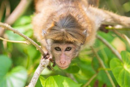 Wild ginger monkey called toque macaque close-up portrait looking at camera sitting on a tree in jungle of Sri Lanka