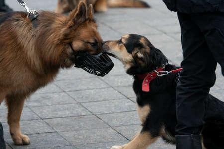 Two dog friends meeting outdoors where cur sniffs german shepherd Standard-Bild