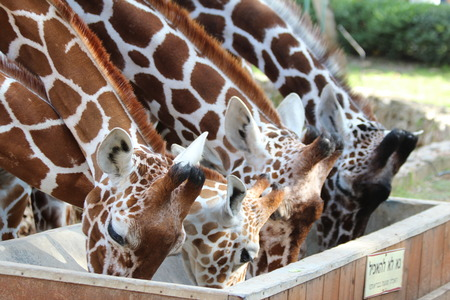 zoological: Giraffes eating in zoo. Feeding of giraffes in The Zoological Center Tel Aviv-Ramat Gan outdoor  zoo Safari, Israel Stock Photo