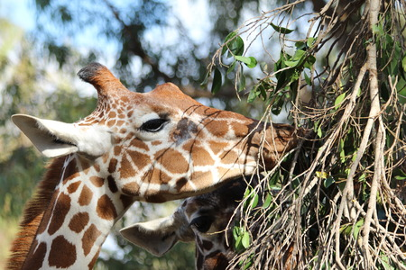 long nose: Giraffe eating branches. Close up of giraffe head: eye with long eyelashes , ear, nose, mouth, soft giraffe horns, mane, spots