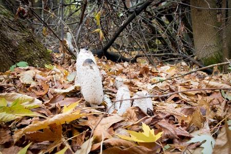 mottle: Mushrooms macrolepiota procera in the autumn leaves.