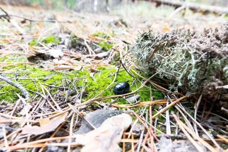 Green beetle on moss in the forest. Geotrupidae latreille.