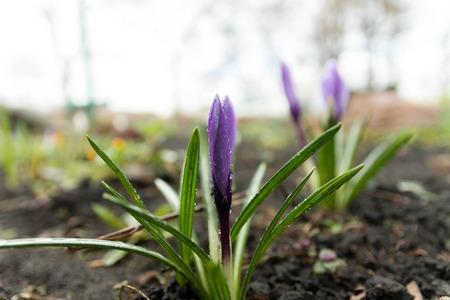 Saffron under raindrops. Flowering flower focus. Earth. Priming. Stock Photo