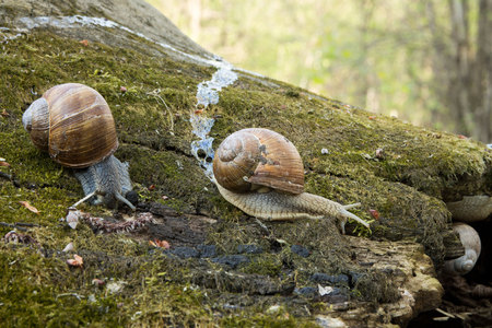 Snails in nature. Snails on the stump. Tree moss. Stock Photo