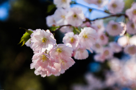 Cherry blossom. Japanese cherry. Japanese cherry flowers branch.
