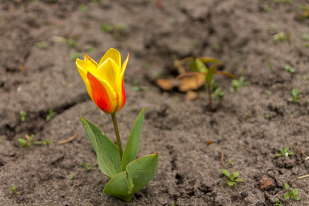 Lonely tulip in the flowerbed. Yellow-red tulip.