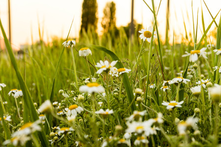 remedial: Camomile field. Wildflowers at sunset sun. Spring. Summer.
