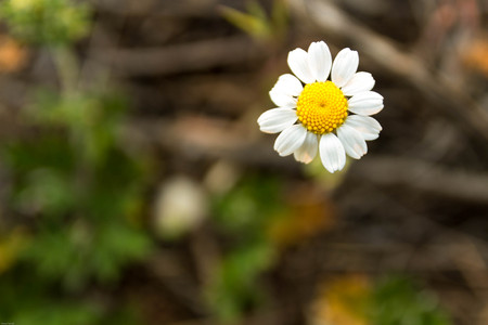 remedial: Lonely daisy. Camomile in the field. Camomile on the lawn. Wild chamomile. Stock Photo