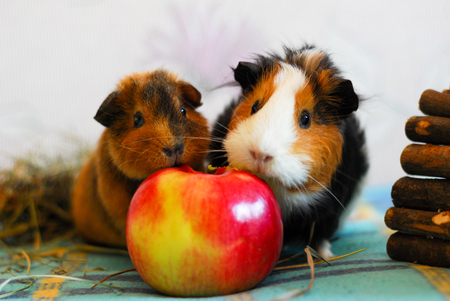 red clover: Two guinea pigs are eating an apple. Pet.
