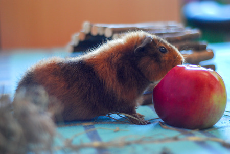 red clover: Pets. Homemade hamster. The guinea pig.