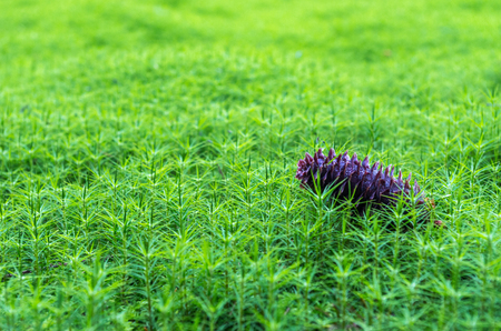 Dark green forest. A fir cone on the grass.