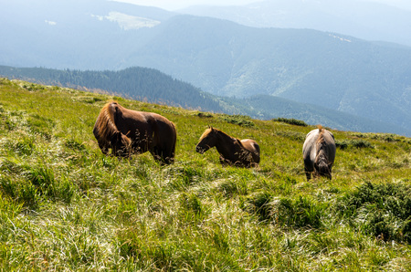 Three horses in the reserve. Horses walking in the mountains. House horses. Stock Photo