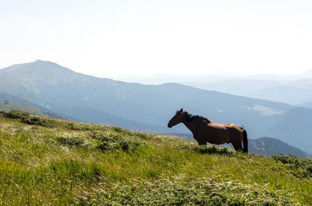 A stallion grazing in the mountains. Stallion in the wild. An animal in the mountains.