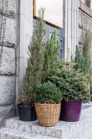 Conifers in the flowerpot. Various needles. Vases in the street.