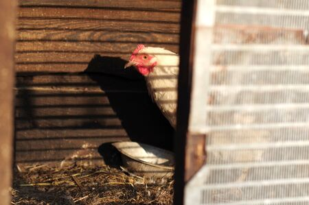 Homemade chicken in a cage. Surprised chicken in a cage. Frightened chicken in a cage. Striped shadow.