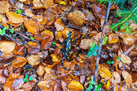 Fire salamander crawling on yellow foliage. Black lizard with orange spots.