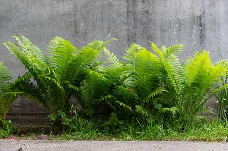 Beautiful fern bush. Fern side view. A flower bed with a fern.
