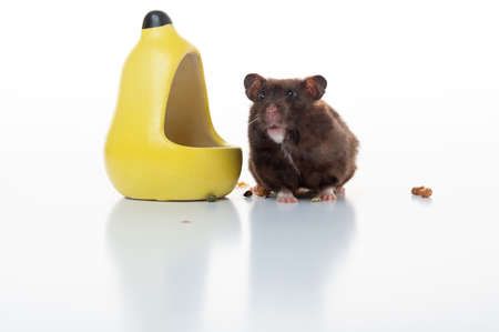 Small hamster near the feeder. Brown hamster on a white background. Home mouse. Фото со стока