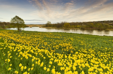 scotland landscape: A Sea of Daffodils in Aberdeen