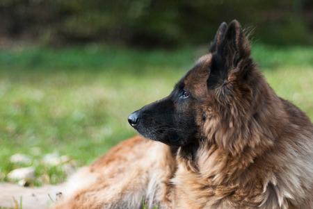 Dog german sheperd