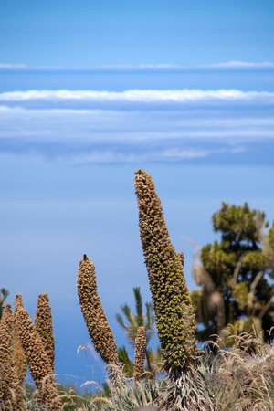 Ð¡osmic flower (Echium wildpretii) Canary Islands