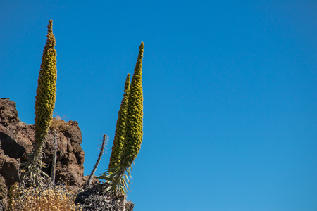 Ð¡osmic flower (Echium wildpretii) against the blue sky