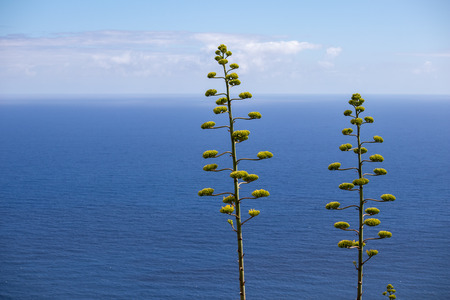 two agave americans on the background of the ocean and sky with clouds Reklamní fotografie