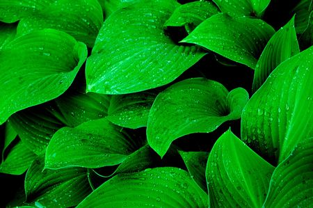 hostas: raindrops on hostas plant Stock Photo