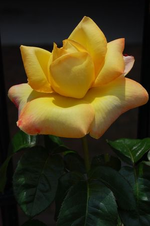 yellow rose in summer