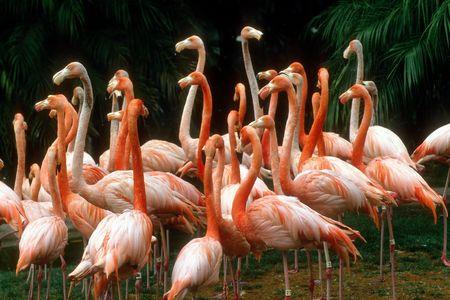 gathering of pink flamingos Фото со стока