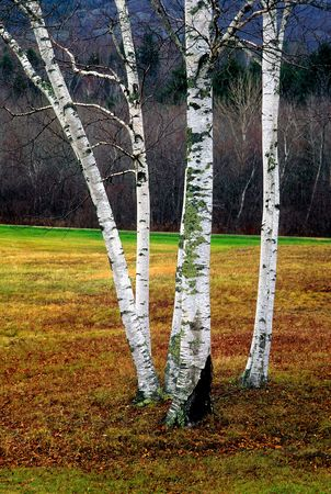 birch trees in medow vertical view Banco de Imagens