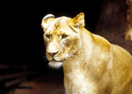 lion Фото со стока