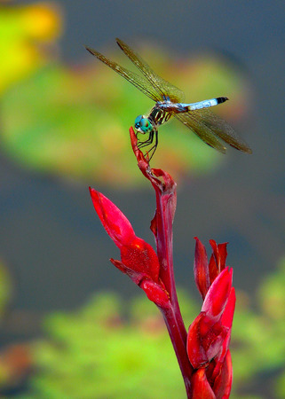 dragonfly on a red flower Banco de Imagens