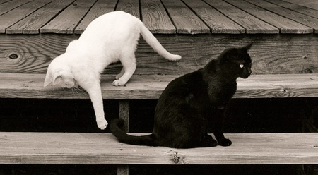 cats playing: cats in black and white