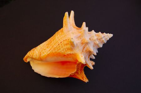 conch shell Stock fotó