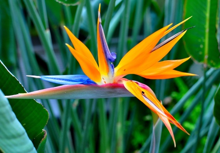 birds of paradise: bird of paradise flower Stock Photo