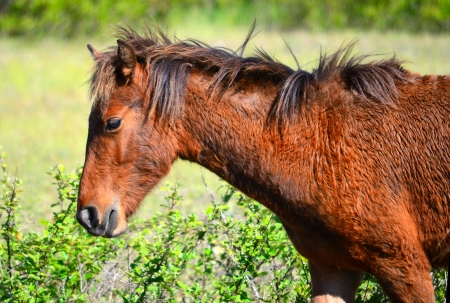 outerbanks: wild horse on North Carolina outerbanks Stock Photo